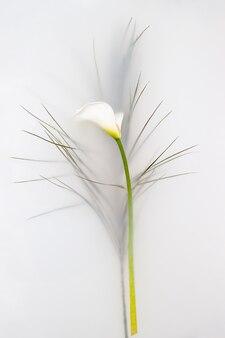 Bovenaanzicht van zachte calla bloem met witte bloemblaadjes en groene plant drijvend in bad met melkachtig water