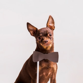 Bowtie-steun dichtbij de hals van het bruine russische die speelgoedhond op achtergrond wordt geïsoleerd