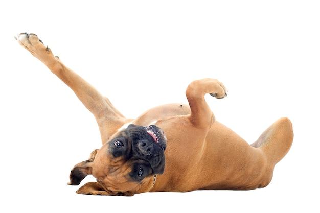 Boxer op de rug