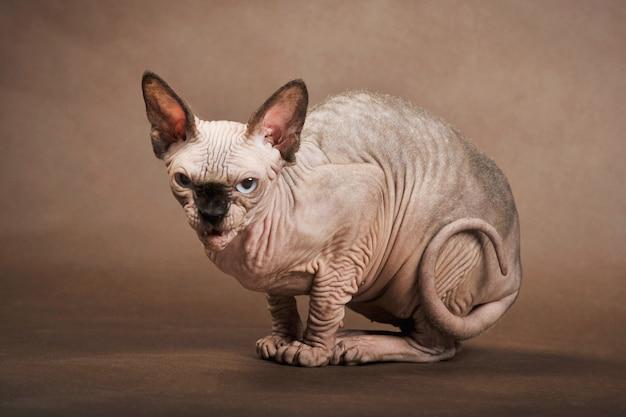 Boze kat met blauwe ogen van sfinx ras zit op bruine achtergrond, studio