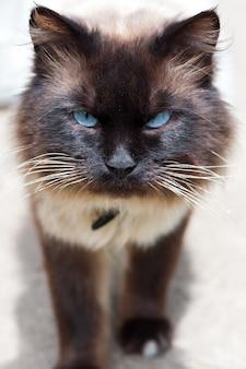 Boze kat met blauwe ogen.