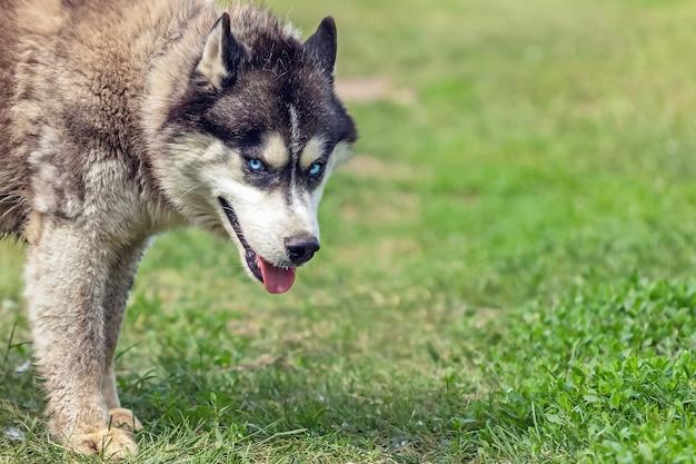 Boze snuit van husky hond op de weide, close-up