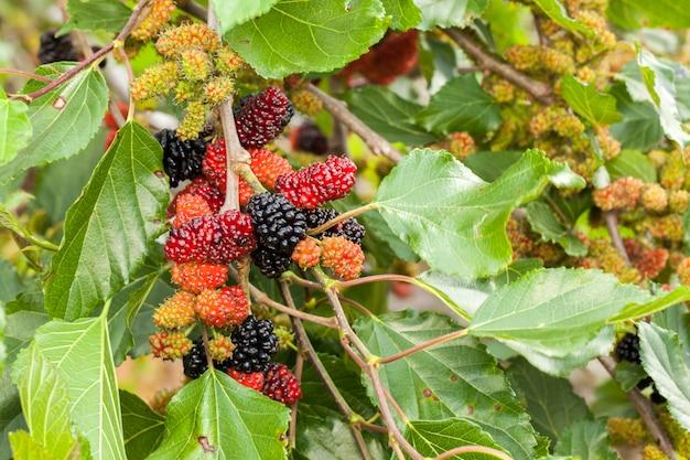 Braambes rijp, rijp en onrijp groen fruit op boom