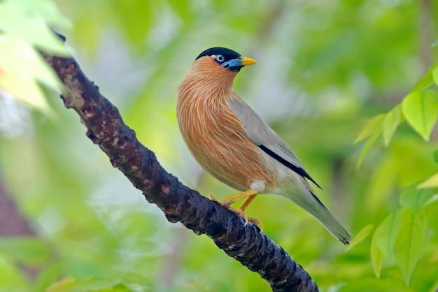 Brahminy starling sturnus pagodarum prachtige vogels van thailand