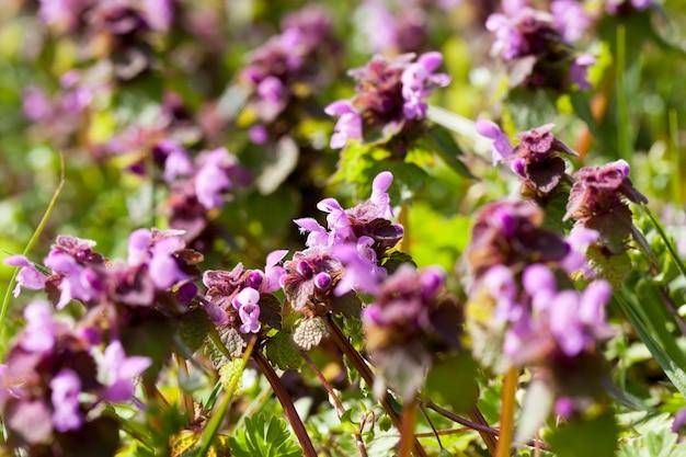 Brandnetel bloeit in de lente