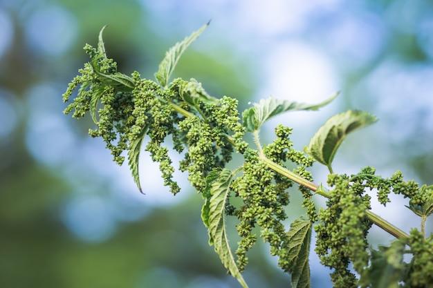 Brandnetel bloemen en knoppen close-up. zomerbloei van medicinale planten. enorme brandnetelstruik. verzameling van geneeskrachtige kruiden