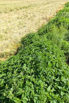 Brandnetel groeit naast een landbouwveld met tarwe