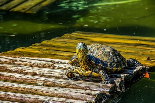 Braziliaanse schildpad in de open lucht