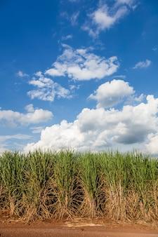Braziliaanse suikerrietvelden onder een blauwe hemel.