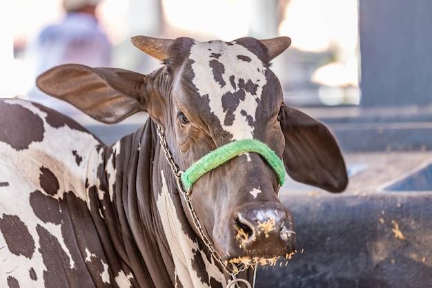 Braziliaanse zeboe elite vee in een tentoonstellingspark