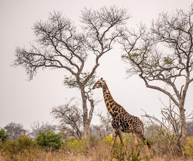 Brede hoek die van een giraf is ontsproten die zich naast hoge bomen in de savanne bevindt