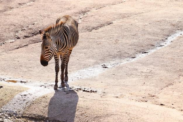 Brede hoek die van een zebra is ontsproten die zich op de grond bevindt