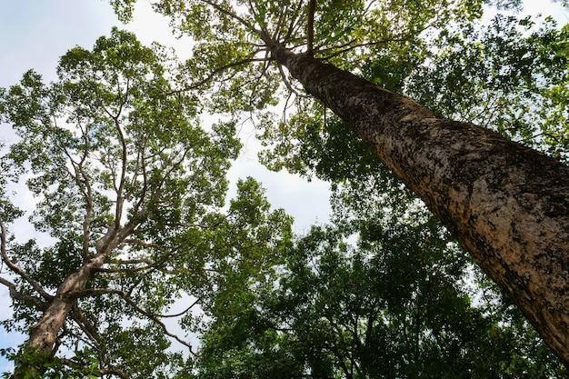 Brede hoekmening van grote boom in bos, aard achtergrondconcept.