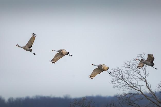 Brede opname van vier sandhill-kranen die in een bewolkte hemel vliegen