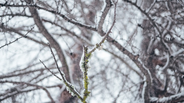 Breed selectief close-upschot van een boomtak die in sneeuw wordt behandeld
