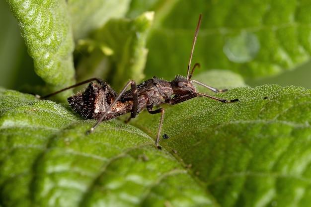 Breedhoofdige bug nimf van de familie alydidae