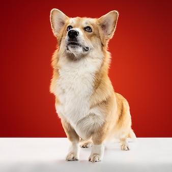 Breng me naar huis. welsh corgi pembroke puppy poseren. het leuke pluizige hondje of huisdier zit geïsoleerd op rode achtergrond. studio fotoshot. negatieve ruimte om uw tekst of afbeelding in te voegen.