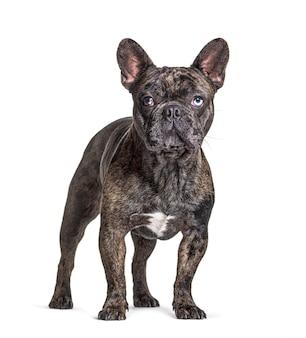 Brindle franse bulldog met blauwe ogen, staand, geïsoleerd op wit