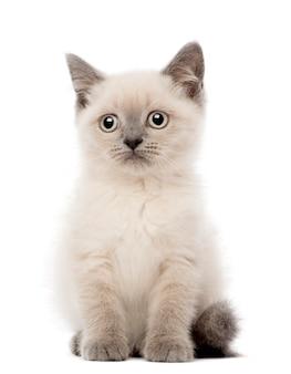 British short hair kitten zittend (10 weken oud)