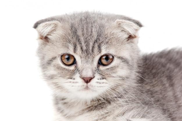 Brits katje dat op witte achtergrond wordt geïsoleerd