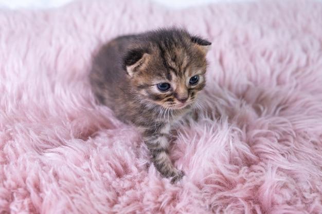 Brits korthaar grijs kitten staat op een roze deken