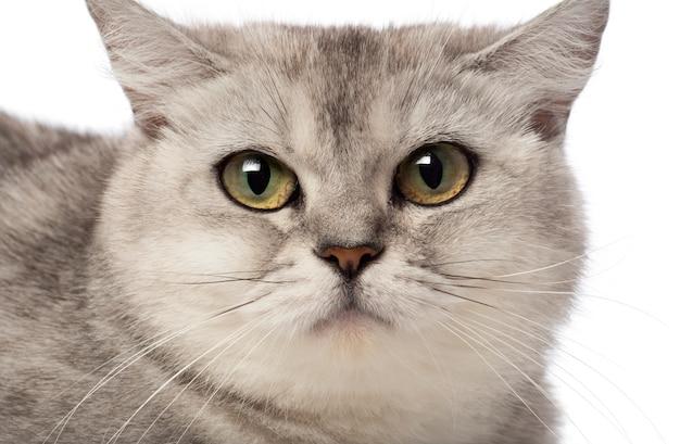 Brits korthaar kat (3 jaar oud)