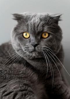 Brits korthaar kat met zwart-wit muur achter haar