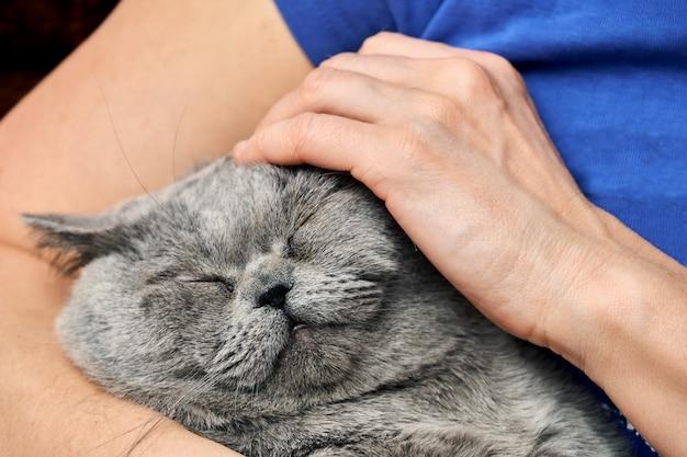 Brits korthaar kater liggend in de armen van zijn minnares en geniet van strelen met gesloten ogen