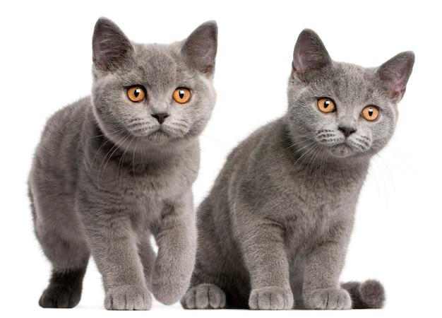 Brits korthaar kitten (3 maanden oud)