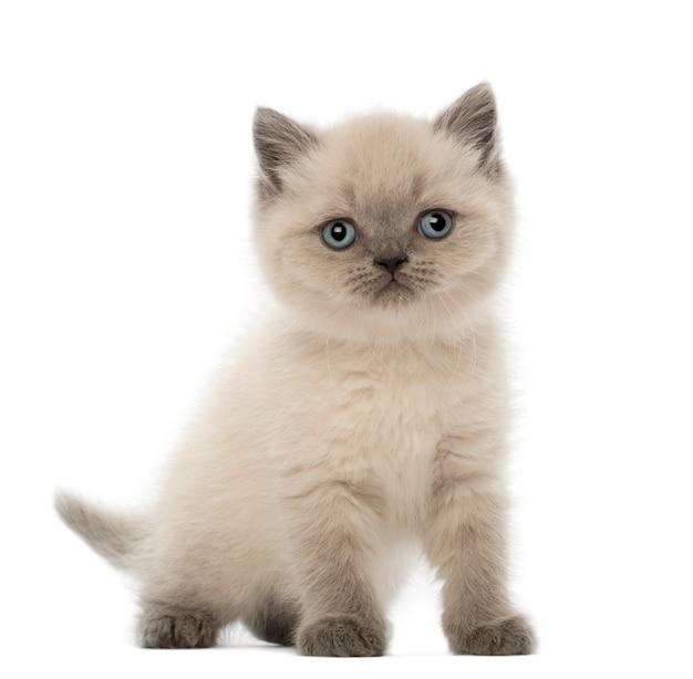 Brits korthaar kitten (9 weken oud)
