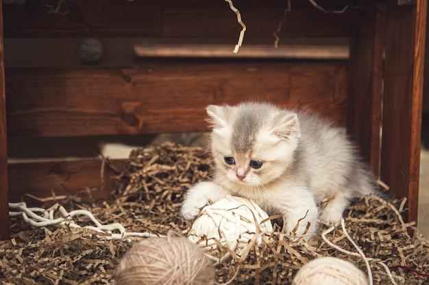 Brits korthaar kitten spelen met ballen van draad in een houten kist. rustieke stijl.