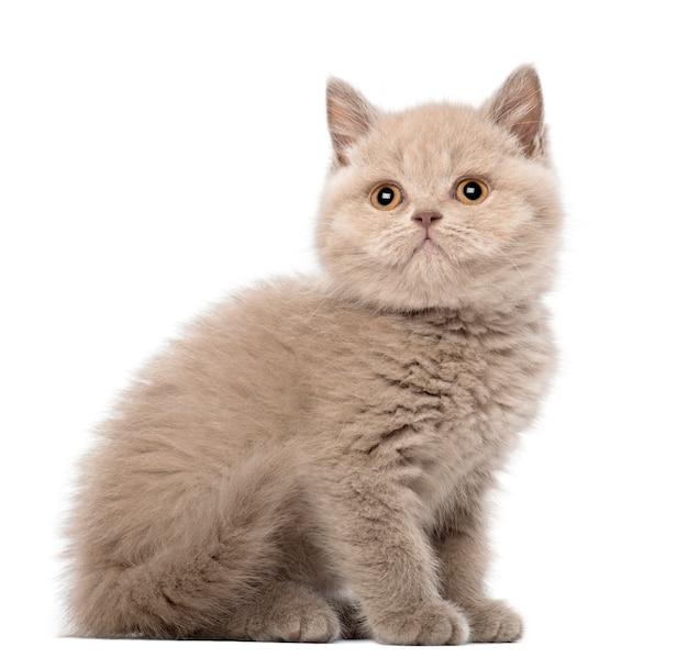 Brits korthaar kitten zittend (9 weken oud)