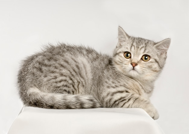 Brits shorthair-geïsoleerd kattenportret