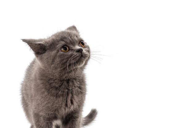 Brits shorthairkatje die omhoog kijken die op wit wordt geïsoleerd