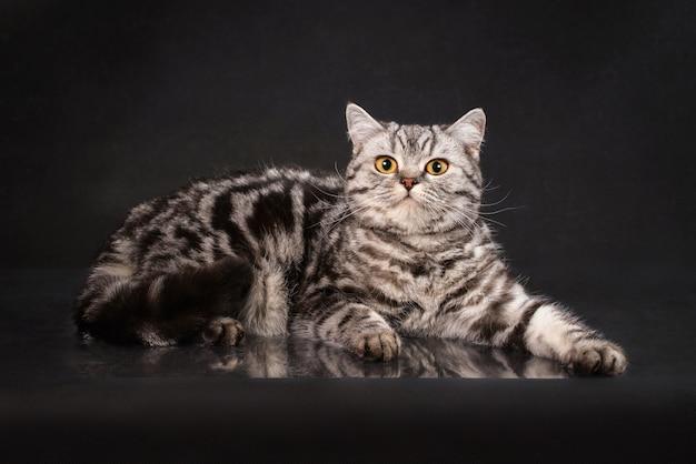 Britse gestreepte kat shorthair jonge kat met gele ogen, het katje van groot-brittannië op zwarte