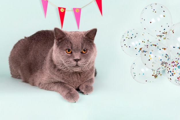 Britse grijze kat en decoratie op de muur, ballonnen op lichtblauwe achtergrond.