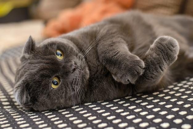Britse grijze kat met hangende oren op een bank