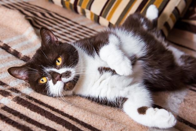 Britse kattenchocolade kleur