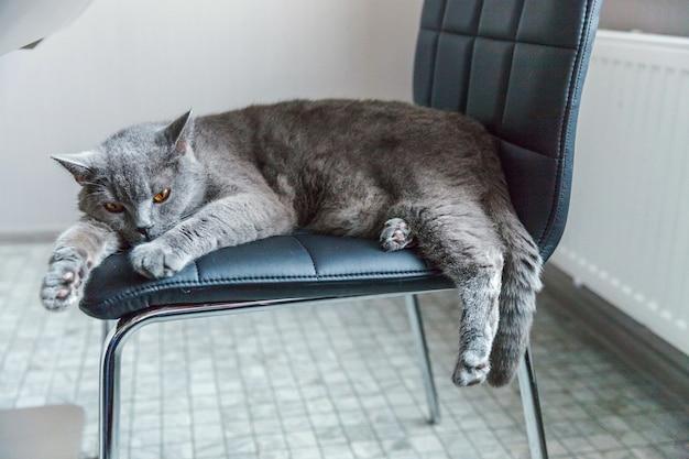 Britse kattenslaap op zwarte moderne stoel binnen thuis