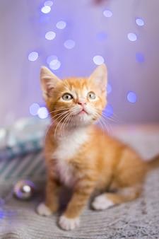 Britse kitten, kerstmis en nieuwjaar, portret kat op een studio kleur achtergrond. hoge kwaliteit foto