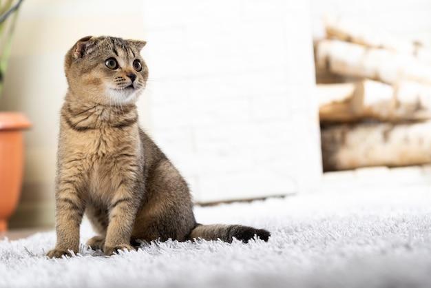 Britse kleine kitten op tapijt tegen open haard
