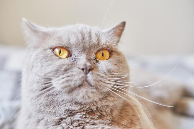 Britse korthaar grijze kat zit thuis op het bed.