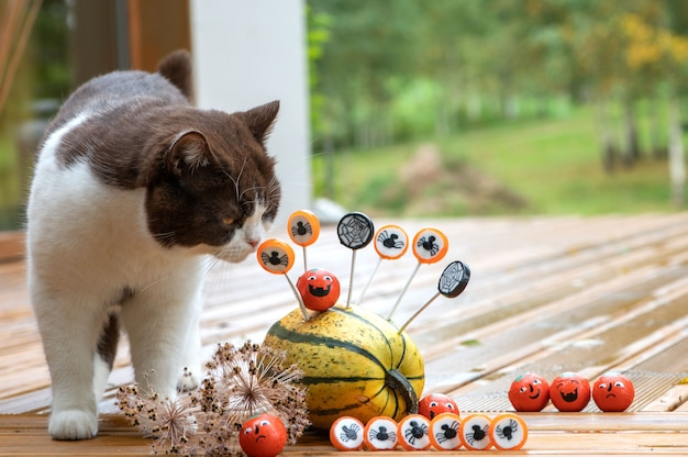 Britse korthaar kat en halloween-decoraties met pompoenen en snoepjes op het houten terras van het huis