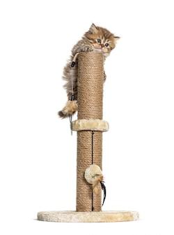 Britse langharige kat speelt op een kattenboom
