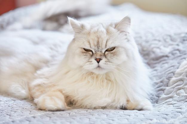 Britse langharige witte kat zit thuis op het bed.
