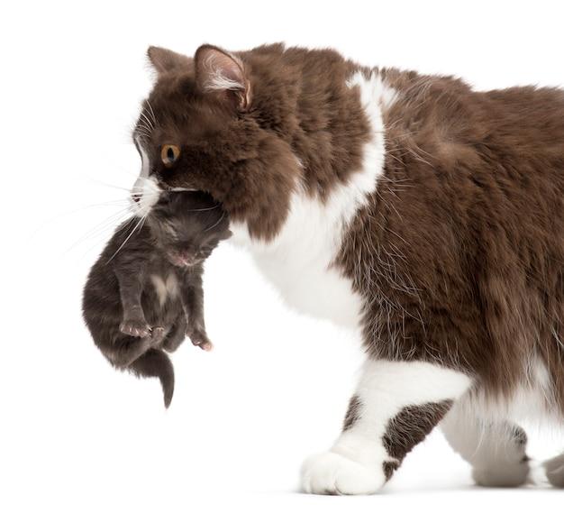 Britse longhair die een katje draagt dat op wit wordt geïsoleerd