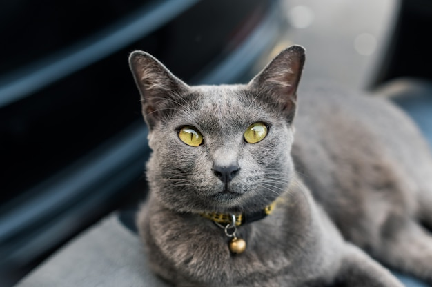 Britse shorthair-kat die op motorfietszetel liggen