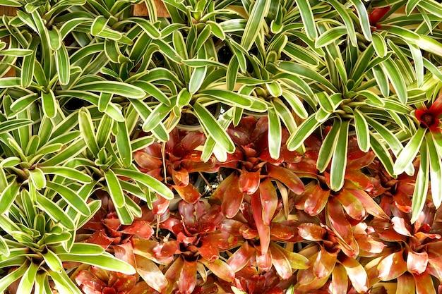 Bromelia neoregelia in de tuin