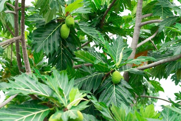 Broodvrucht op broodvruchtenboom met groene bladeren in de tuin