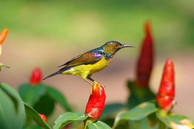 Brown-throated sunbird anthreptes malacensis mooie mannelijke vogels van thailand